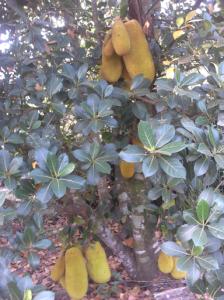 Jackfruit.
