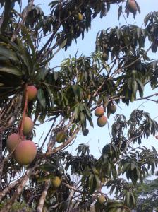 Mangoes On Tree.