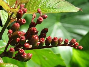Redhead Berries Forming.