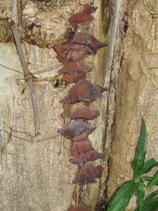 Ear Mushrooms.